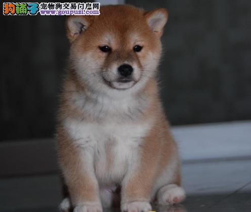 上海专业的柴犬犬舍终身保健康保证品质完美售后