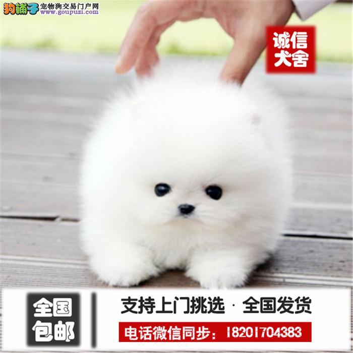 高品质俊介犬纯种博美长不大狗狗保证健康好养超萌