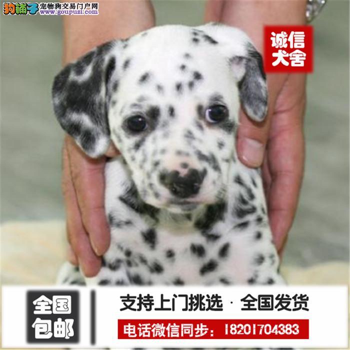 精品斑点犬 可亲来犬舍挑选完美售后