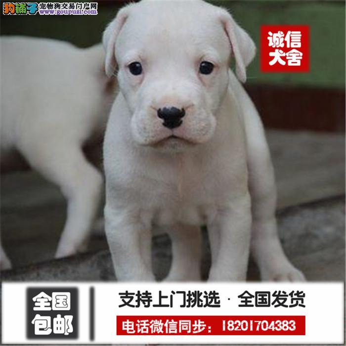纯种杜高打猎一把手疫苗做好视频看狗送货签订协议