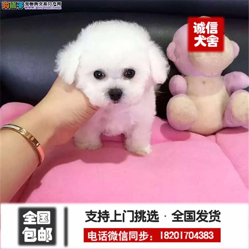 犬舍直销纯种泰迪宝宝、颜色可挑、多只可选、保证健康