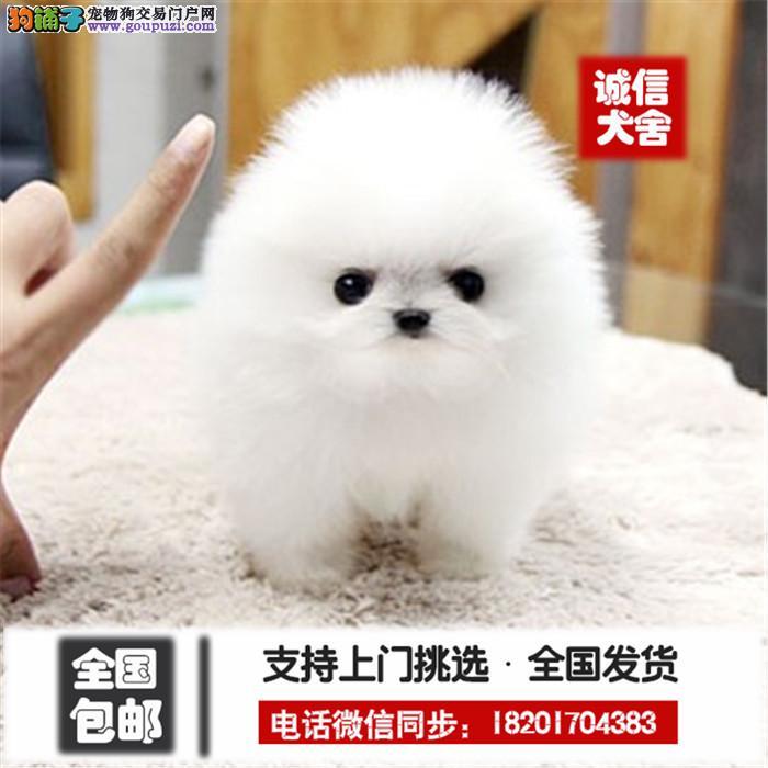 犬舍出售 纯种 博美 健康宠物狗 90天包退换信誉交易