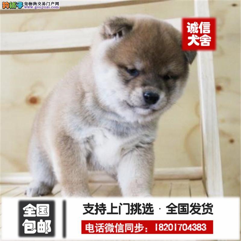 日本柴犬幼犬 品相好 血统纯 看父母 价可面议