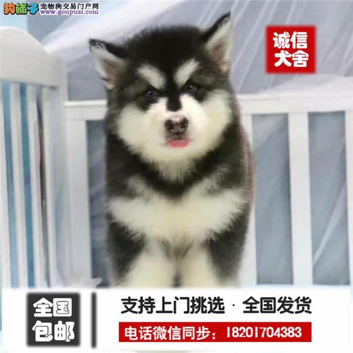 犬舍直销、纯正阿拉斯加犬、保证健康 颜色可挑 可多选