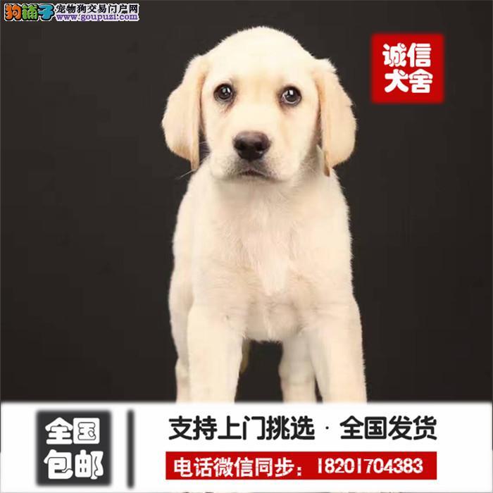 基地出售、导盲犬拉布拉多幼犬_个颜色均有 纯种健康