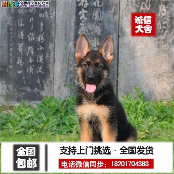 中国高端大头锤系德牧领导者 黑脸大头大骨量短嘴粗腿