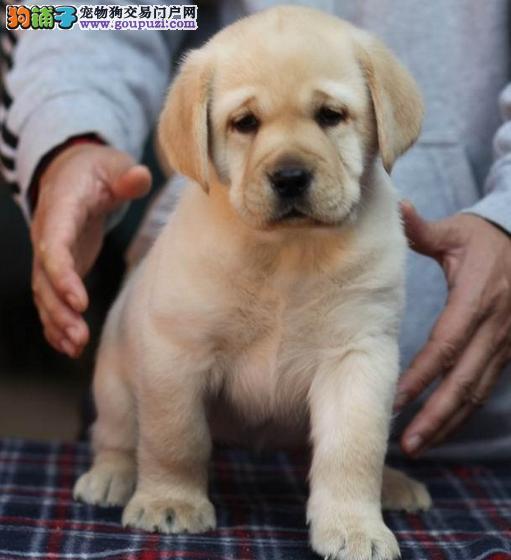 出售高品质纯种健康的拉布拉多幼犬 骨骼粗壮头版好