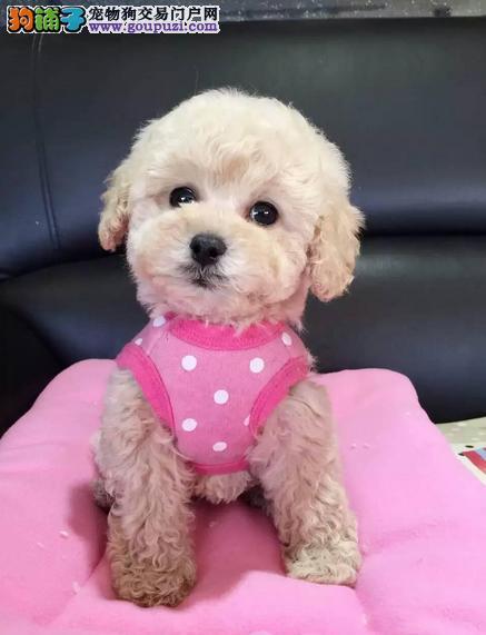 热销多只优秀的纯种泰迪犬幼犬欢迎上门选购价格公道