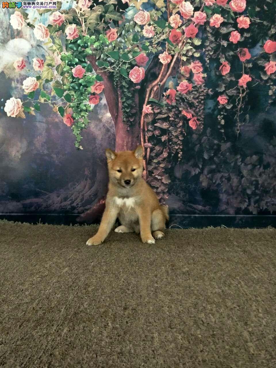 出售三个月大健康柴犬