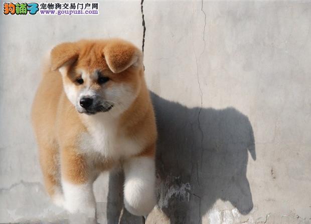 秋田犬忠厚老实 体型好毛色亮,包纯种健康,对外出售