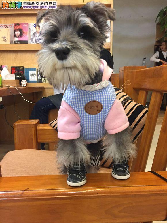 正规狗场出售雪纳瑞幼犬纯种健康3月包退换可送货上门
