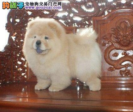 出售出售松狮幼犬 憨厚的肉嘴松狮幼犬找新家 包健康