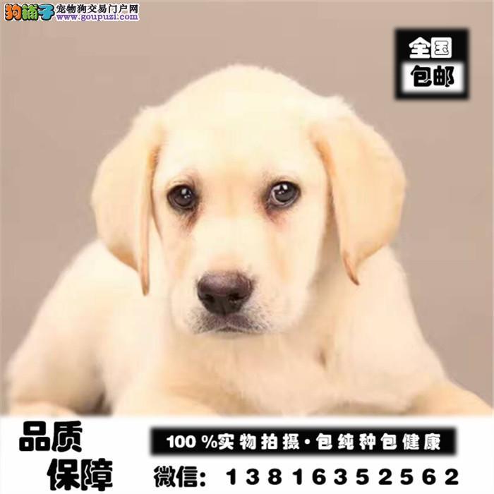 出售拉布拉多健康纯种幼犬 家养拉布拉多包养活签协议