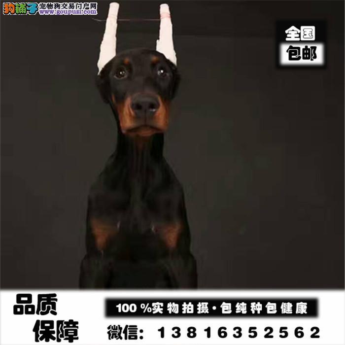 德系杜宾高品质纯种杜宾犬出售健康质保可送货签协议
