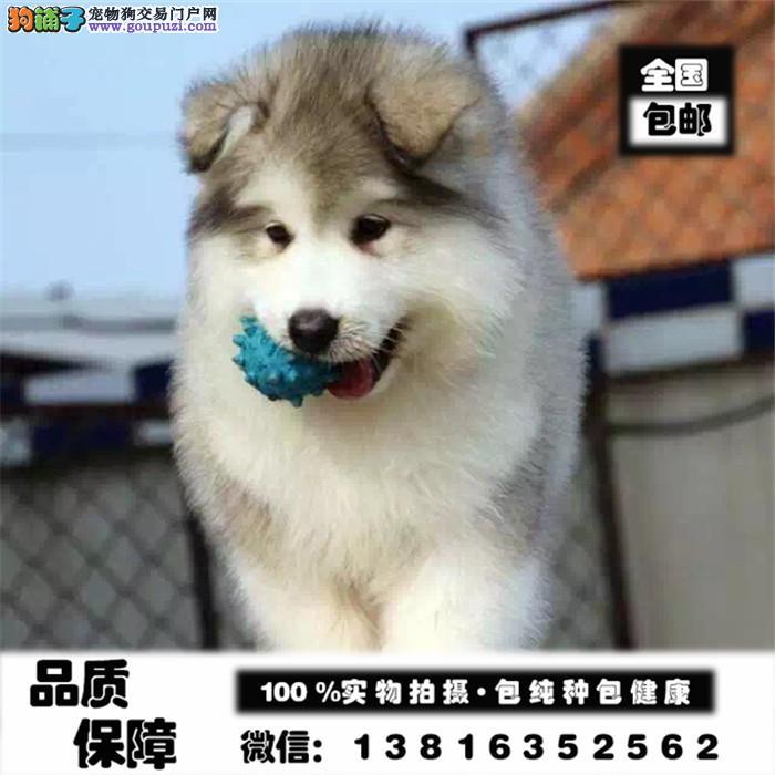 阿拉斯加带血统出售中,犬舍直销多只可选,疫苗做全!