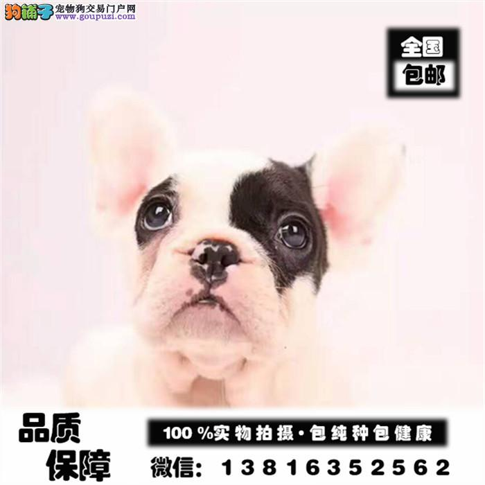 家养繁殖赛级幼犬英国斗牛 法斗幼犬多窝可选健康保证
