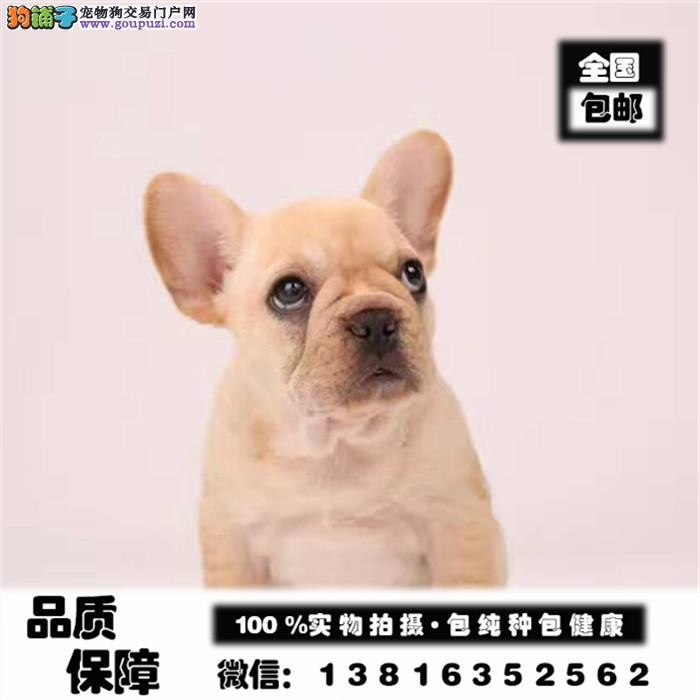 法斗犬舍出售高端血统法国斗牛犬幼犬法斗法牛幼犬