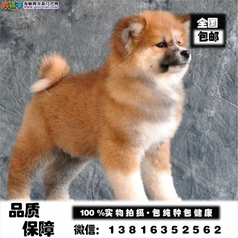 秋田犬绝对是忠犬八公的后代小狗狗带有强壮的身体