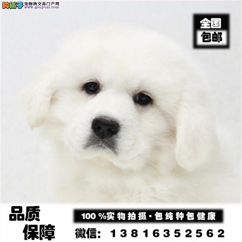 纯种大骨量大白熊幼犬 王者风范 品相纯正保证健康品质