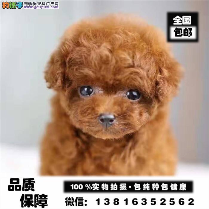 精品泰迪幼犬,证书齐全,血统纯正,疫苗齐全,可签协议