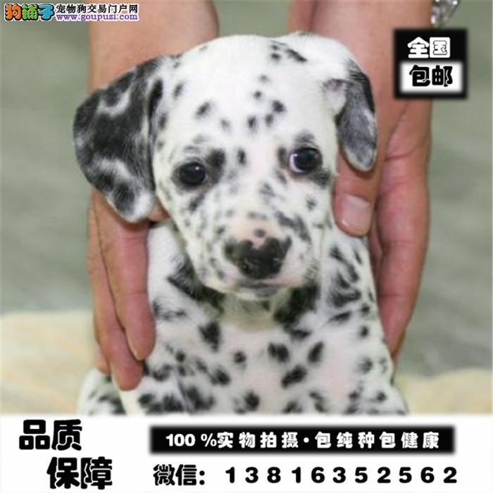 高端 大气 斑点狗 纯种繁殖 大麦町犬气质不凡