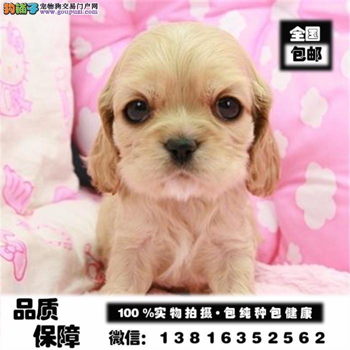 实体店/出售纯种美国可卡犬,英国可卡犬/可卡幼犬