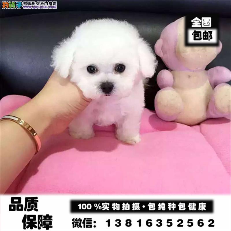 高品质泰迪犬带血统,终身质保,质量三包,可签协议!