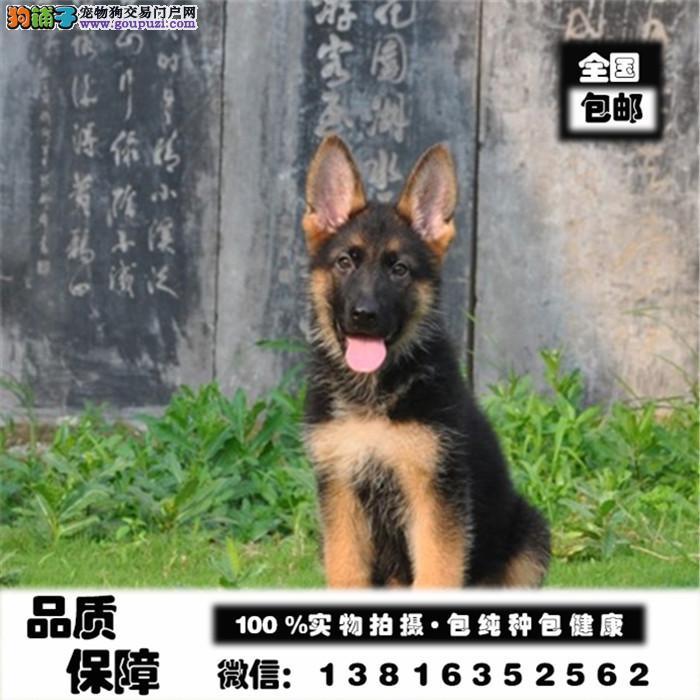 狗场直销一德牧幼犬一健康保证一送用品一签协议保障