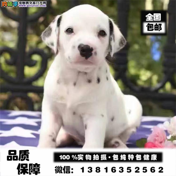 哪里有纯血统斑点狗 出售健康斑点狗 签协议