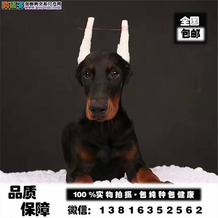 纯种德系美系杜宾幼犬 出售公母均有 可场实地挑