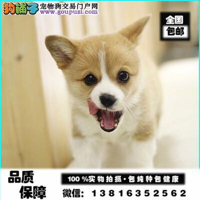 英国双血统出售纯种柯基犬幼犬狗狗威尔士三色柯基
