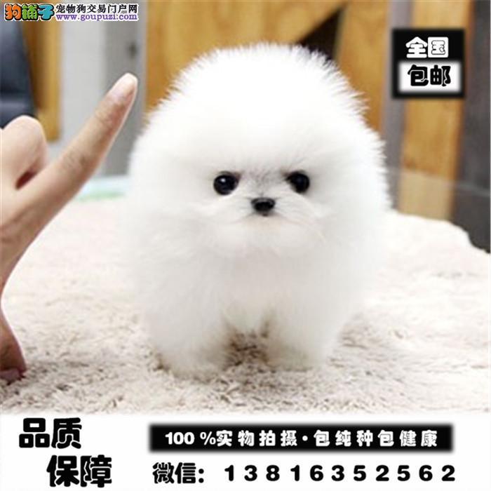 博美犬养殖基地 赛级哈多利血统博美犬 签订售后协议