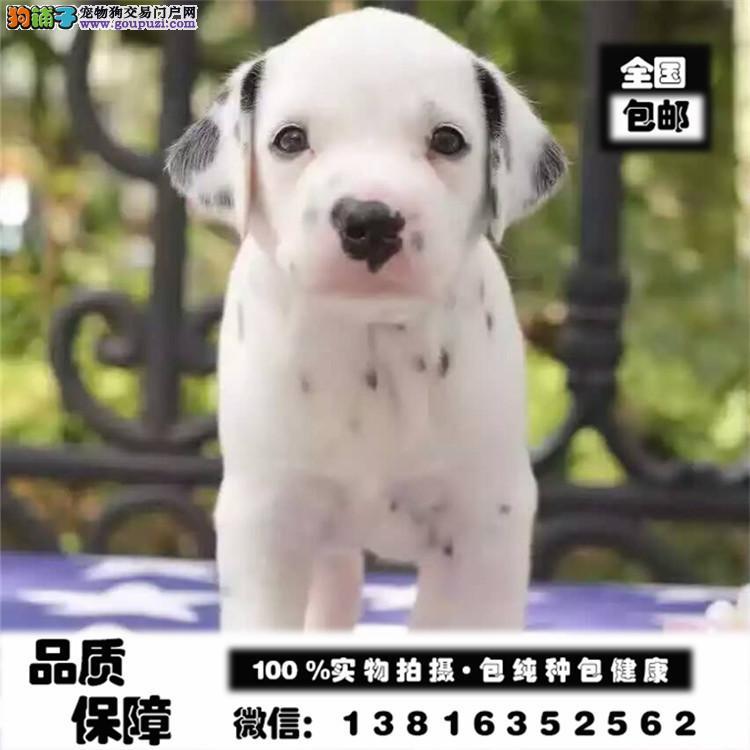 正规养殖基地出售高品质斑点幼犬 健康质保签署协议