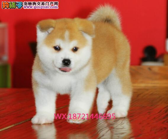 秋田犬绝对是忠犬八公的后代 小狗狗带有强壮的身体