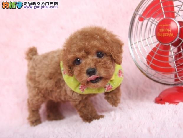泰迪犬 纯种袖珍犬泰迪犬 活体宠物犬幼犬