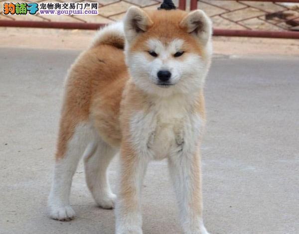 秋田犬 纯种日本秋田犬 活体宠物犬秋田幼犬
