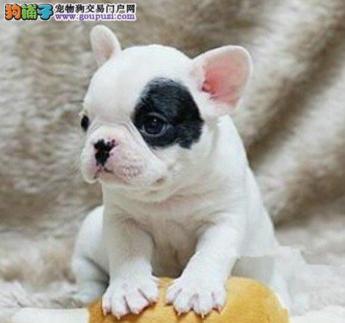法国斗牛犬 法牛犬活体宠物犬 纯种斗牛犬