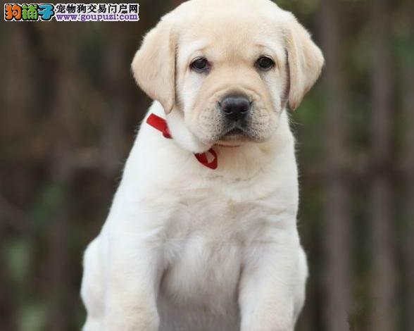 拉布拉多犬 导盲犬幼犬活体寻回犬宠物犬
