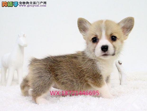 英国双血统出售纯种柯基犬幼犬狗狗 威尔士三色柯基