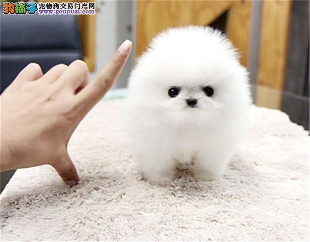 向阳宠物城  纯白色棉花球可爱球体博美狗狗包健康
