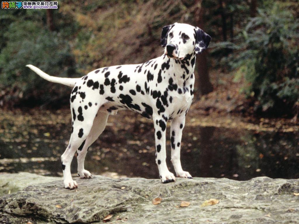 斑点犬 纯种斑点狗 欢迎实地选购 完美售后可签协议