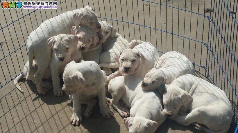 看家护院猛犬 阿根廷杜高犬 打猎,凶猛斗犬