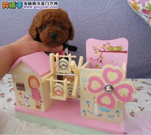 韩系 娃娃脸泰迪犬 口袋茶杯泰迪熊狗 超小体
