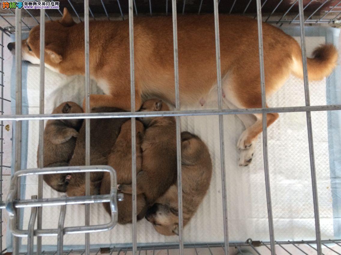 出售柴犬成犬以及柴犬幼犬公母均有