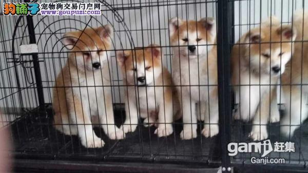 春天犬业 常年出售秋田犬配种