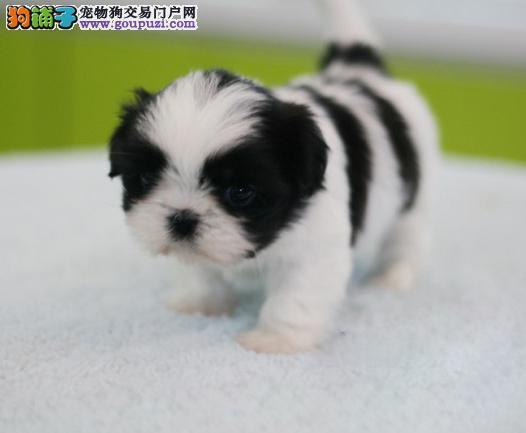 犬舍直销高品质纯种西施犬幼犬 完美售后