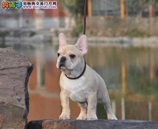 北京犬舍繁殖纯种法国斗牛犬 赛级双血统斗牛犬