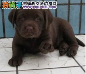 犬舍直销健康纯种高品质拉布拉多幼犬 多只可选