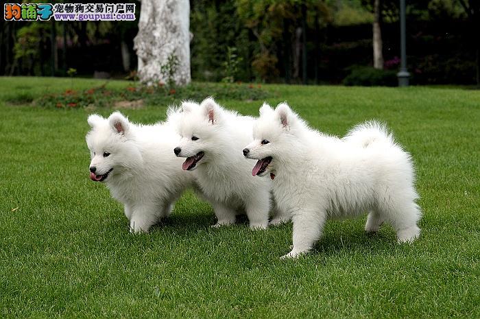 全国可售上海萨摩耶犬舍顶级微笑天使澳版大毛量萨摩