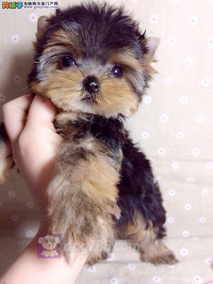 诚信出售韩版超小体约克夏幼犬 高品质纯种健康约克夏